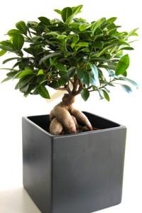 Bonsai - Ficus Ginseng